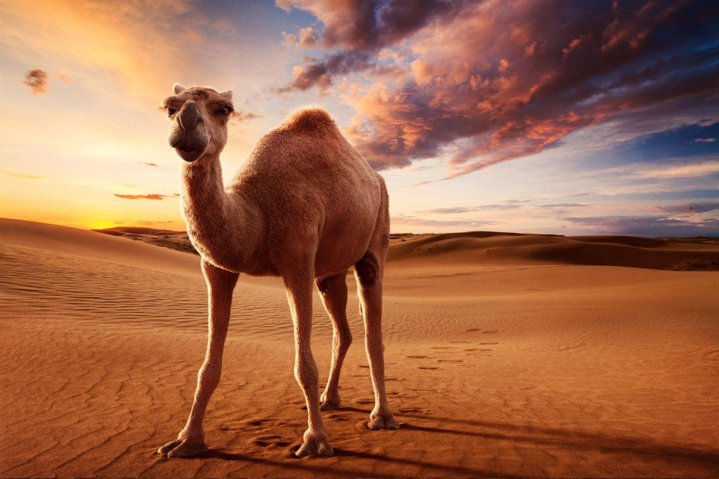 cgi illustration camel on a desert background with a sunset sky