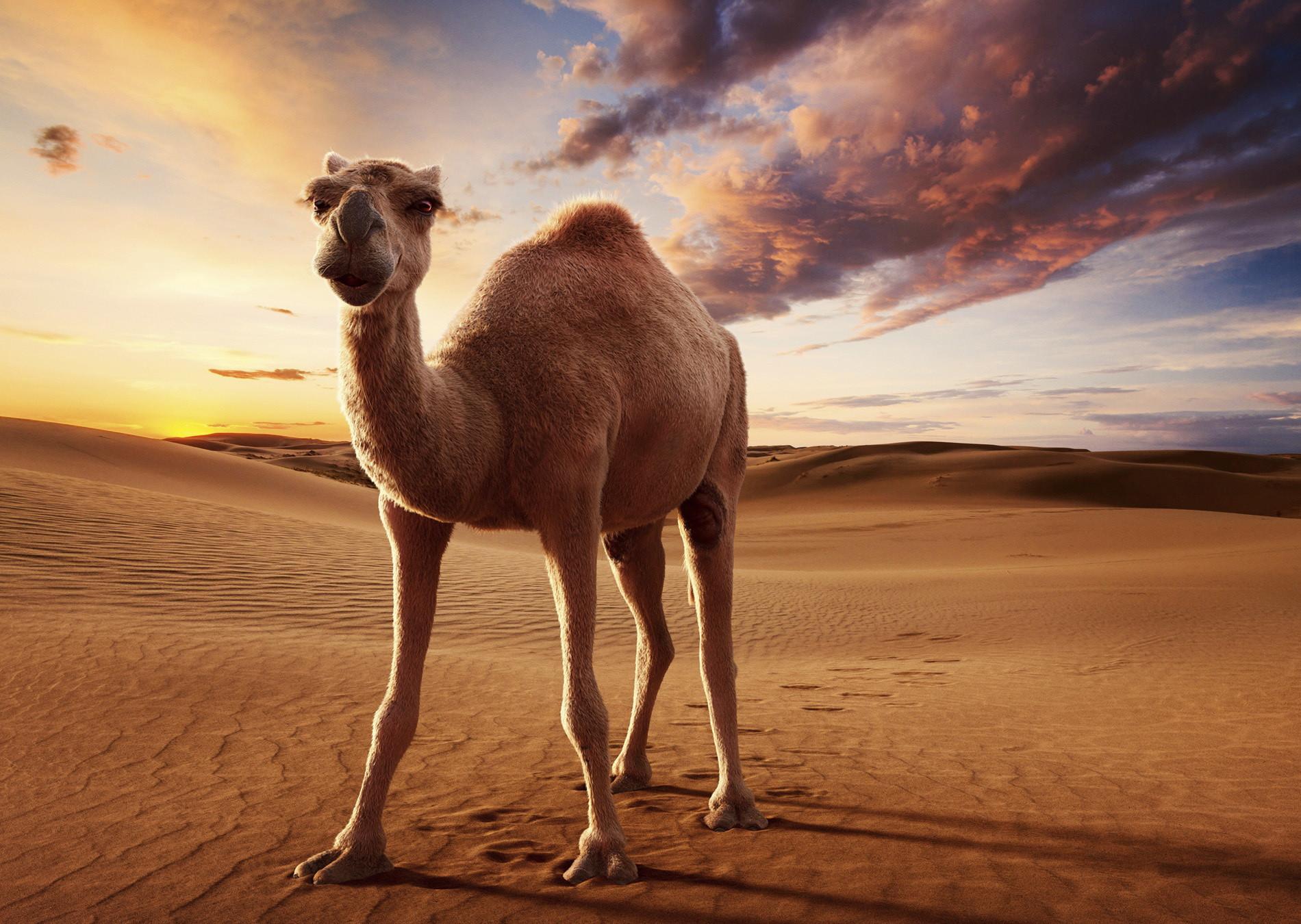 cgi camel and desert landscape boom cgi
